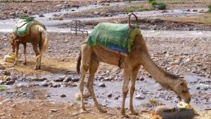 Excursions balade chameaux dans les rivières du Haut Atlas